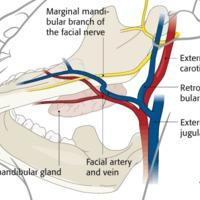 Szájzugi arcideg ág sebészeti vonatkozásai