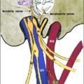 A Jacobson és az Arnold ideg - a fülfájás oka mandulaműtét után, vagy gégebetegségek esetén