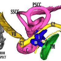 Az arcideg fülészeti anatómiájához