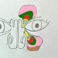 Az arcüreg és homloküreg fejlődése - képen