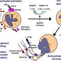 Neutrophil Extracellular Trap (NET) középfül-gyulladásban