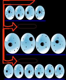 hyperplasia_vs_hypertrophy_svg.png