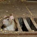 Hogyan kellene kiirtani a patkányokat?