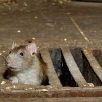Mit tesz az I. kerület a patkányok ellen?