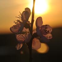 Fotócsütörtök - Cseresznyevirágzás