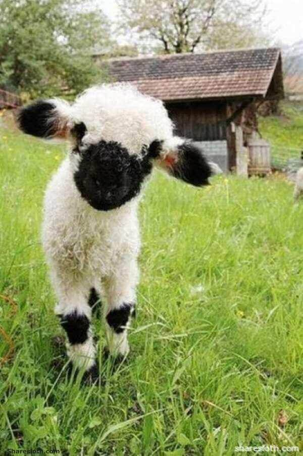 http://sharesloth.com/valais-blacknose-sheep-cutest-sheep/