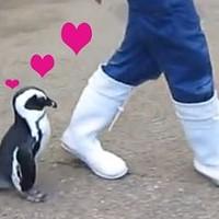 Íme a világ legcukibb videója: a gondozóját üldöző pingvin
