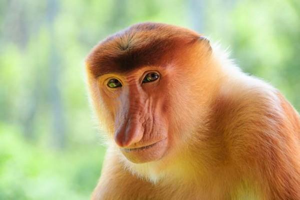 broneói nagyorrú majom.jpg