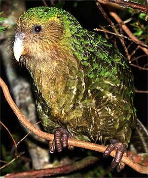 kakapó.jpg