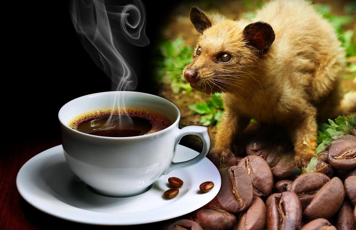 mostexpensivecoffee-kopi-luwak.jpg