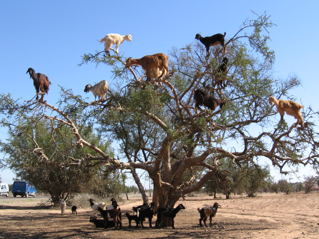 tree-dwelling-goats.jpg