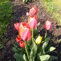Kerti virágok tavasszal