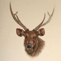 Young reddeer buck #hunt #hunter #hunting #hunters #huntingdog #reddeer #repost #reposter #reposted #buck #drawing #illustration #erdozugas #erdő #mik #yolo #ikozosseg #hunstagram #followusonfacebook #wishicoulddraw #nature