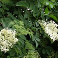 Ehető vadnövények 8. rész - Fekete bodza (Sambucus nigra) - loncféle