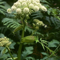 Ehető vadnövények 9. rész - Erdei angyalgyökér (Angelica sylvestris) - zellerféle
