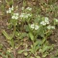 Ehető vadnövények 5. rész - Galambbegysaláta (Valerianella locusta) - macskagyökérféle