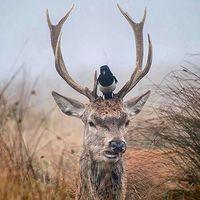 Have you seen my magpie?! #magpie #reddeer #hunt #hunting #hunter #huntingmagazine #erdozugas #repost #mik #yolo #ikozosseg #hunstagram #nature #naturephotography #funny #ilovehunting #february #vadaszat #erdő #forest #wild
