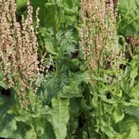 Ehető vadnövények 3. rész - Mezei sóska (Rumex acetosa) - keserűfűféle