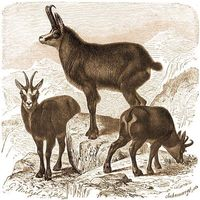 Európai vadfajok 2. rész - Zerge