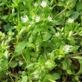Ehető vadnövények 7. rész - Tyúkhúr (Stellaria media) - szegfűféle