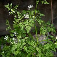 Ehető vadnövények 6. rész - Turbolya (Anthriscus sp.) - zellerféle