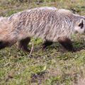 Badger in action #hunt #hunter #hunting #followusonfacebook #nature #hunstagram #naturephotography #wild #wildlife #badger #americanbadger #action #mik #yolo #ikozosseg #erdozugas #repost