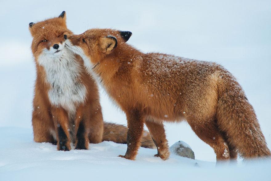 fox-photography-russian-miner-ivan-kislov-chukotka-11.jpg