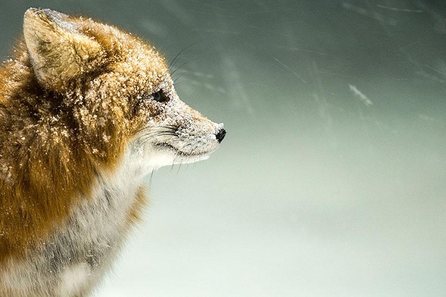 fox-photography-russian-miner-ivan-kislov-chukotka-3.jpg