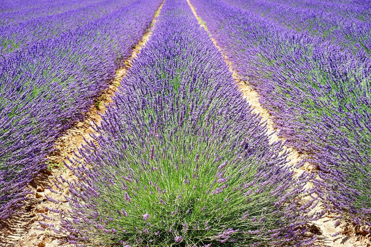 lavender-1595490_1280.jpg