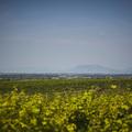 Buborékokkal teli borok a Dél-Balatonról
