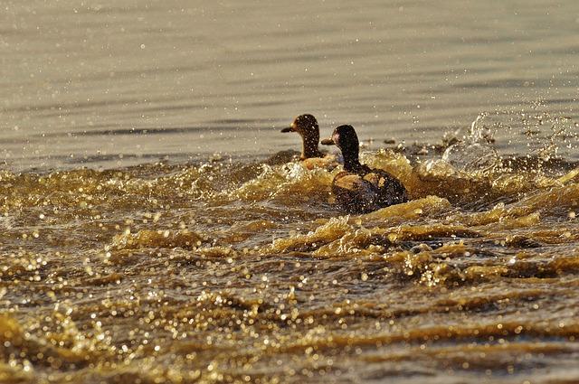 ducks-1114846_640.jpg