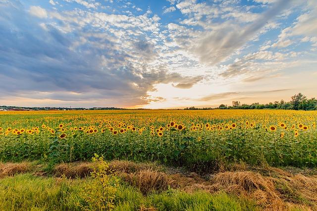 sunflower-1502357_640.jpg