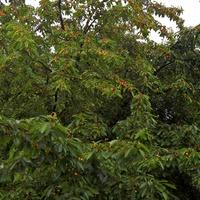 Cseresznyés piskóta