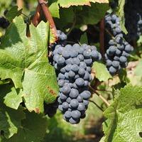 A bor kontinense: nagy termelők és fogyasztók
