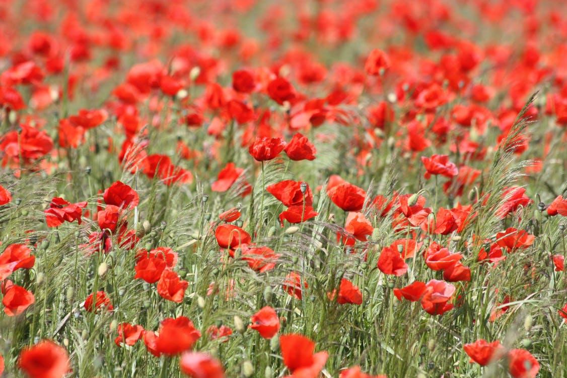poppy-red-poppy-blossom-bloom-54182.jpeg