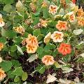 Ehető virág: Sarkantyúka