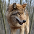 Szaporodnak a bükki farkasok