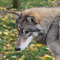Mit üzen a Farkaskaland?
