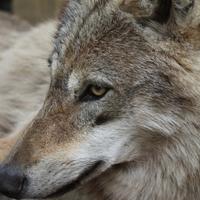 Maya farkas kabátfétise