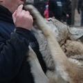 Újévi farkasüvöltés