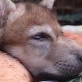 Összegyűjtöttük az idei év eddigi legszebb farkasos fotóit!