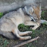 De miért mennek sétára a farkasok?