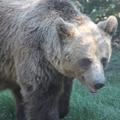 Medvekaland! Prédának nézte a vadászt a predátor?