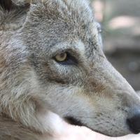 A farkasszem titkai