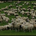 Újra fel kellene fedezni az elfeledett pásztorkutyákat