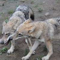 A kényelmes farkas viteti magát