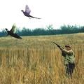 Fácán vadászat