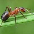A hangya kérdez