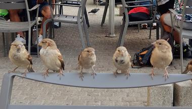 Városi madarak