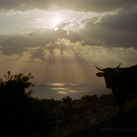 A szent tehén